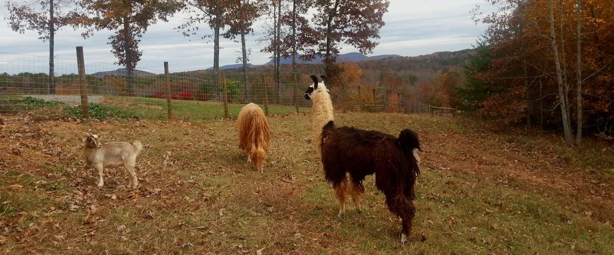 Llamas and Goats – Luna's Trail Farm