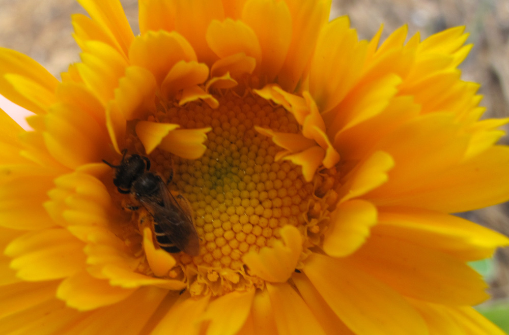 A native pollinator bee working the Calendula.