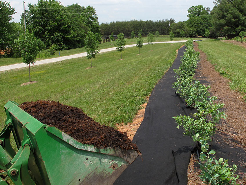 Mulch at the start of a long blueberry row