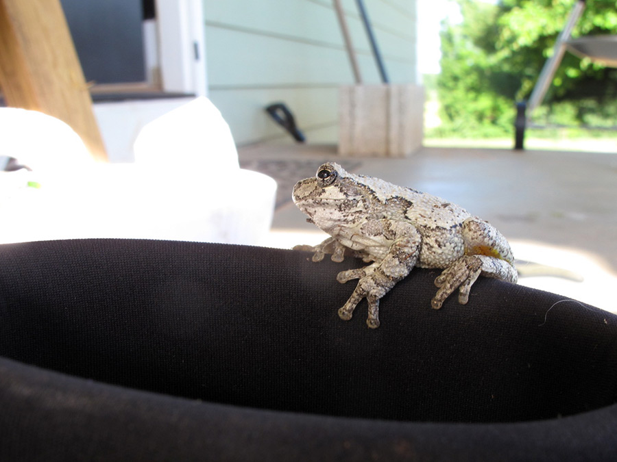 Grey tree frog on a boot