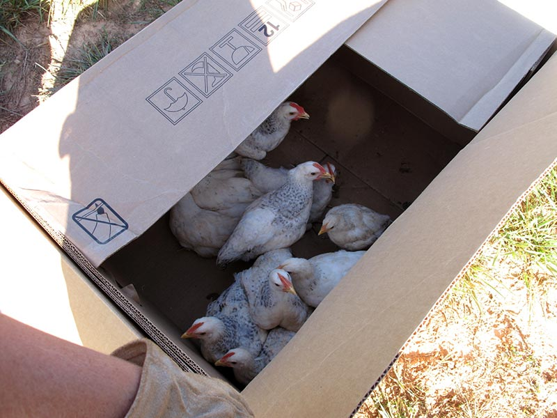 Chickens in a Bolens lawnmower box