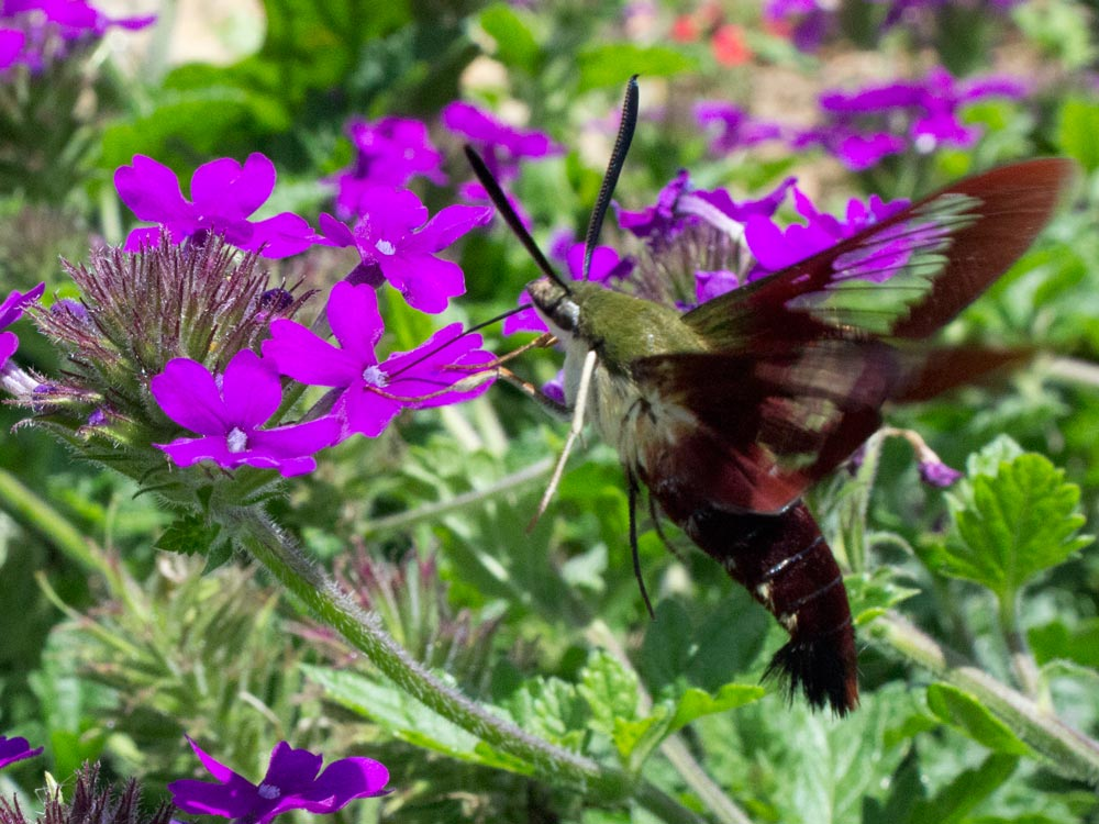 A hummingbird moth in the verbena flowers