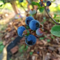 Blueberries are In!